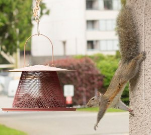 Squirrel reaching for the bird feeder